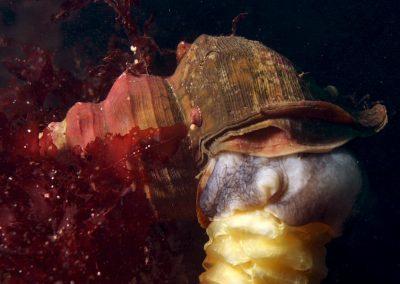 Neptune whelk