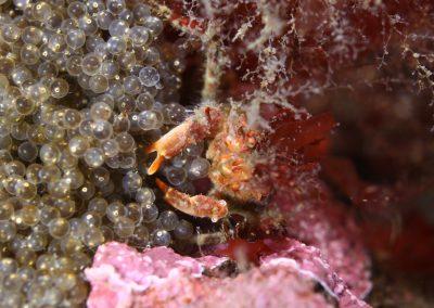 krabbadýr tengill