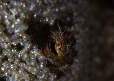 Squat lobsters