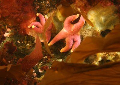Krossfiskur roðakrossi