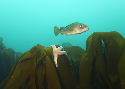 Krossfiskur stórkrossi