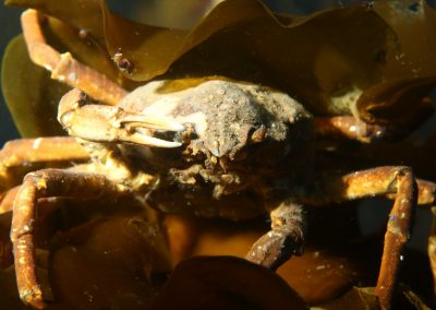 Krabbadýr trjónukrabbi