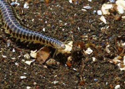 Bristle worms